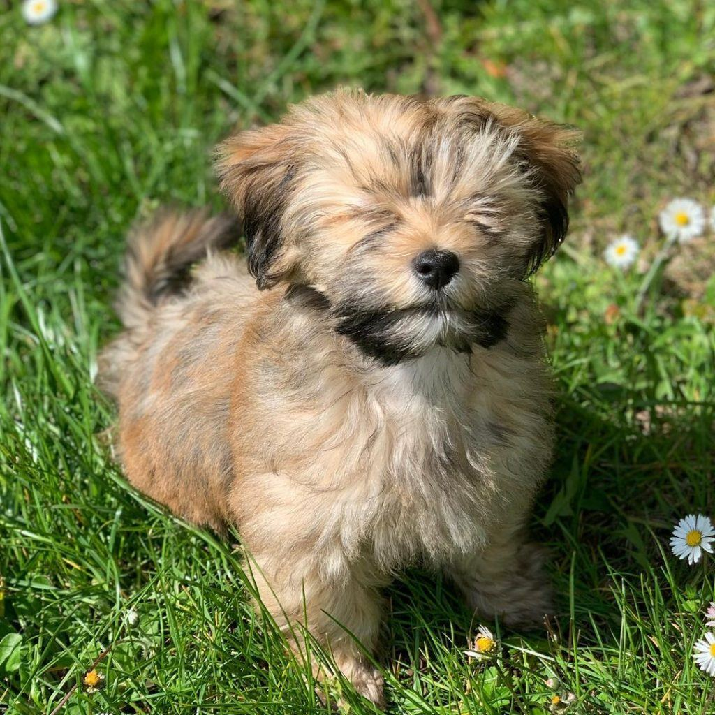 Teacup Havanese Puppy For Sale