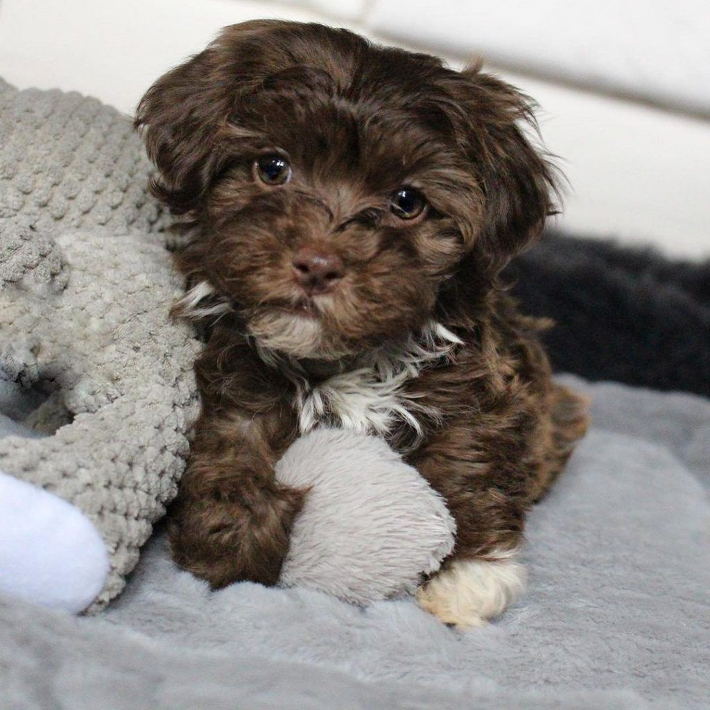 Chocolate Havanese Puppy For Sale
