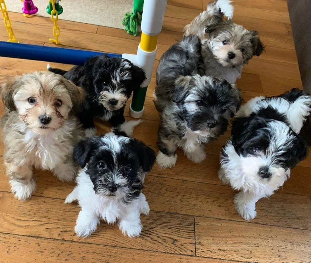 Havanese Dogs For Sale 1