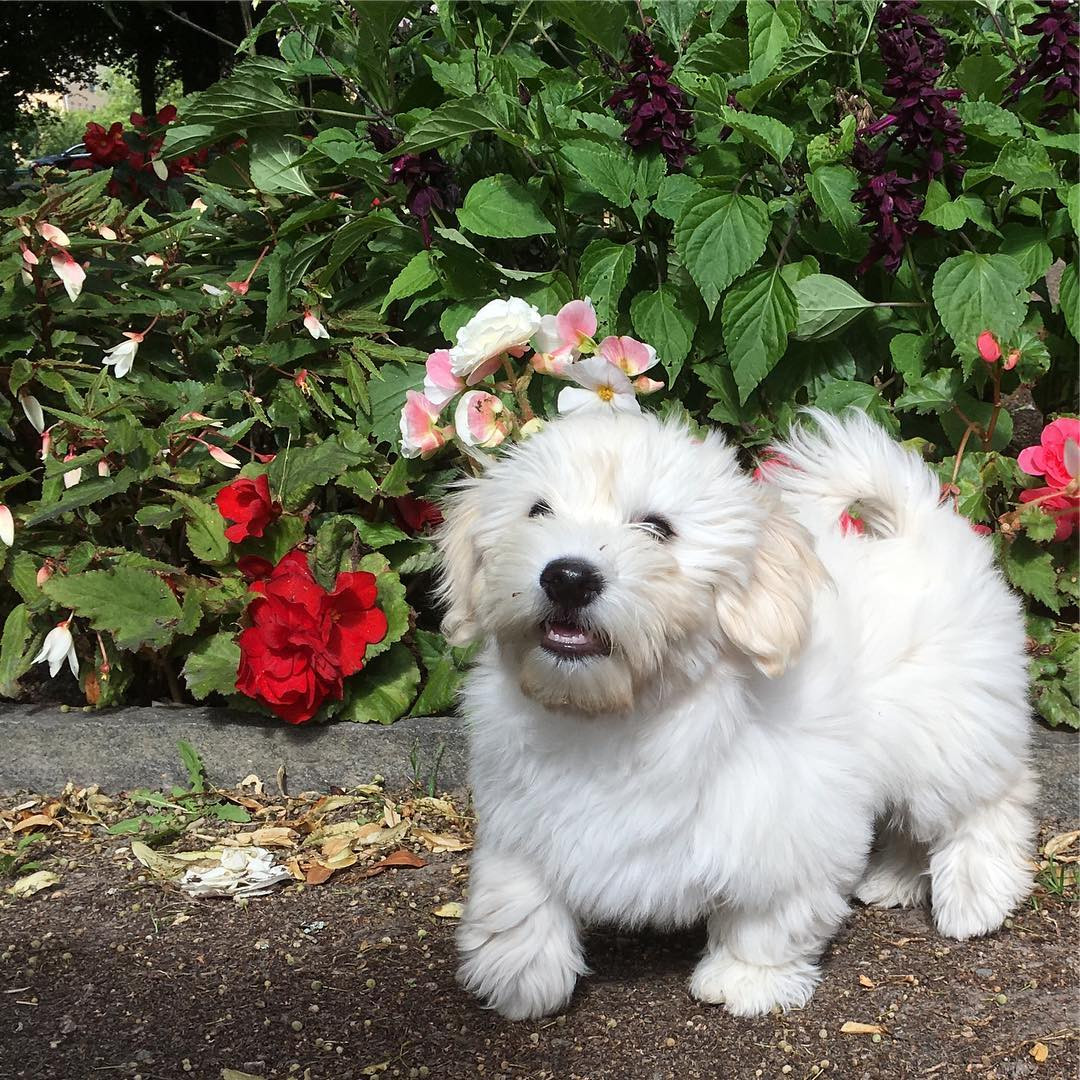 Havanese Puppies For Sale Near Me